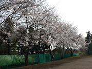 Sakura_011_1