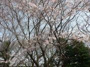Sakura_012